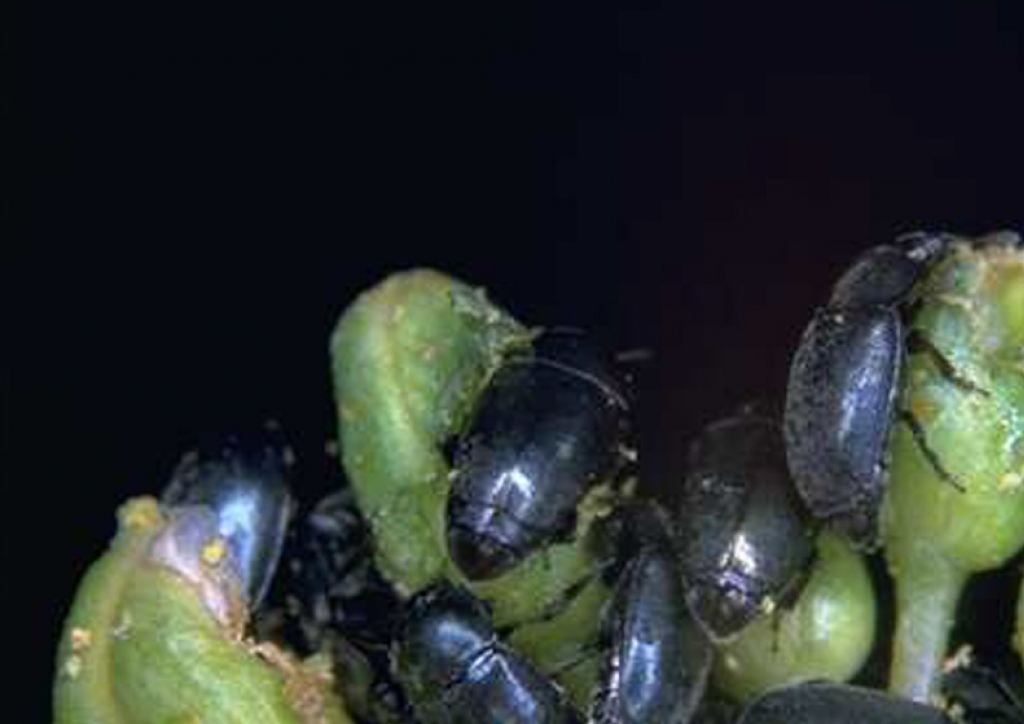Tömeges kártétel zöldbimbós állapotban