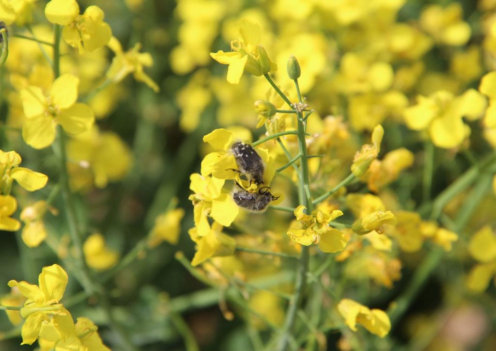 Bundás bogár imágók táplálkozása repcevirágzaton