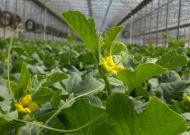 Sárgadinnye (zárt termesztőberendezésben, hajtatott)