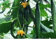 Uborka (zárt termesztőberendezésben, hajtatott)