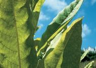 Dohány (zárt termesztőberendezésben, palántaágy)