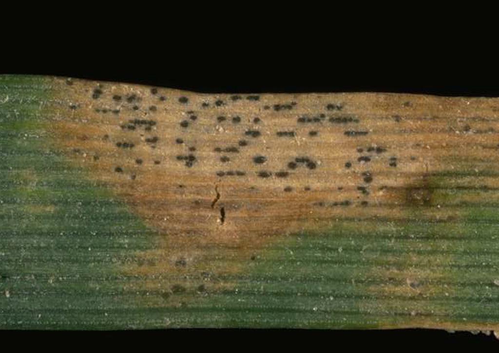 Septoria tritici búzán