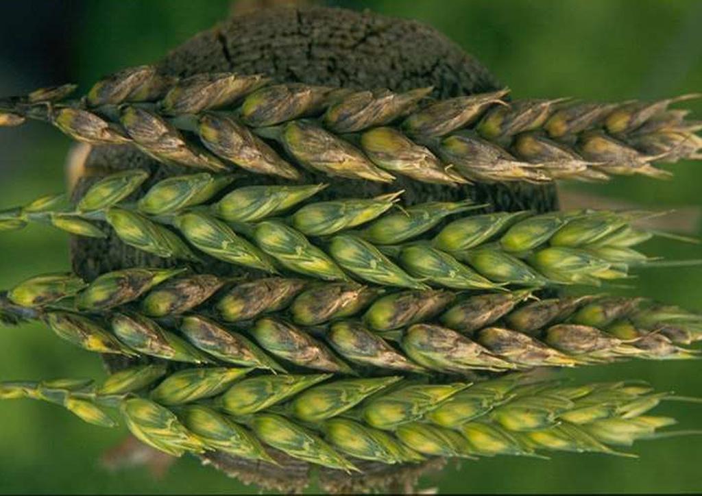 Septoria nodorum búzán