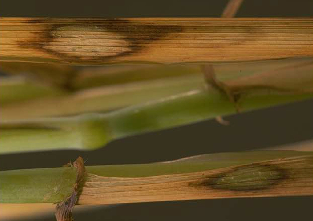 Tapesia yallundae búzán