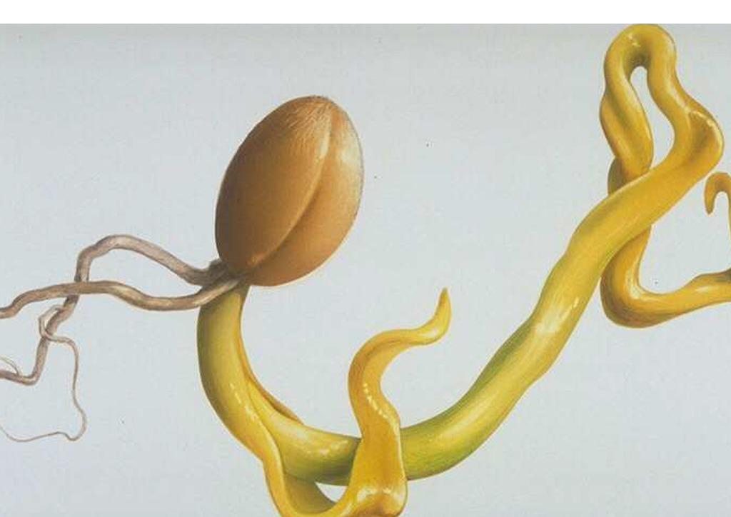 Microdochium nivale búzán