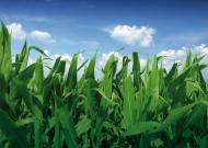 Szemes kukorica