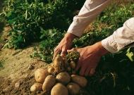 Étkezési burgonya