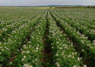 Burgonya vetőgumó