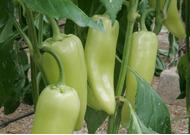 Paprika (csemege, zárt termesztőberendezésben, hajtatott)